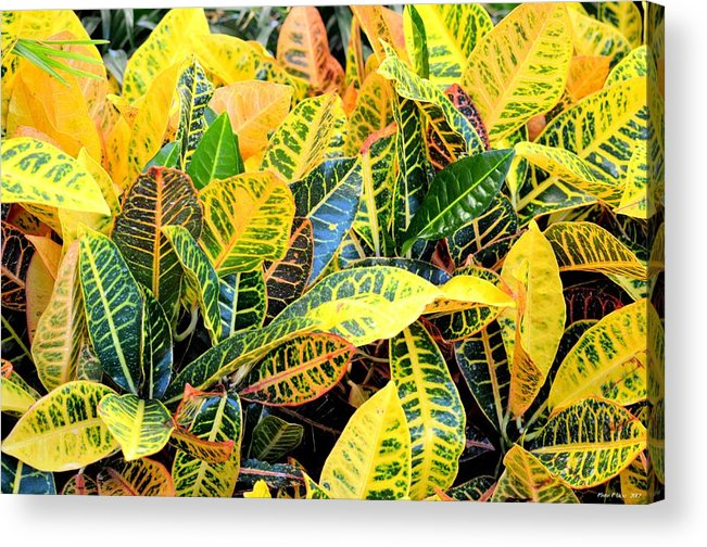 Multi-colored Acrylic Print featuring the photograph Multi-colored Croton by Maria Urso