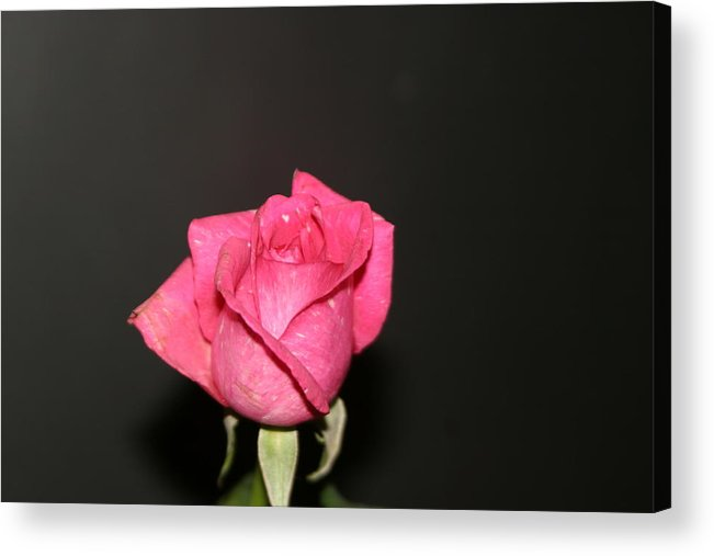 Rose Acrylic Print featuring the photograph My Rose by Dervent Wiltshire