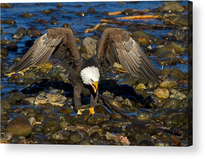 Bald Eagle Acrylic Print featuring the photograph National Symbol by Shari Sommerfeld