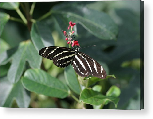 National Acrylic Print featuring the photograph National Zoo - Butterfly - 12121 by DC Photographer