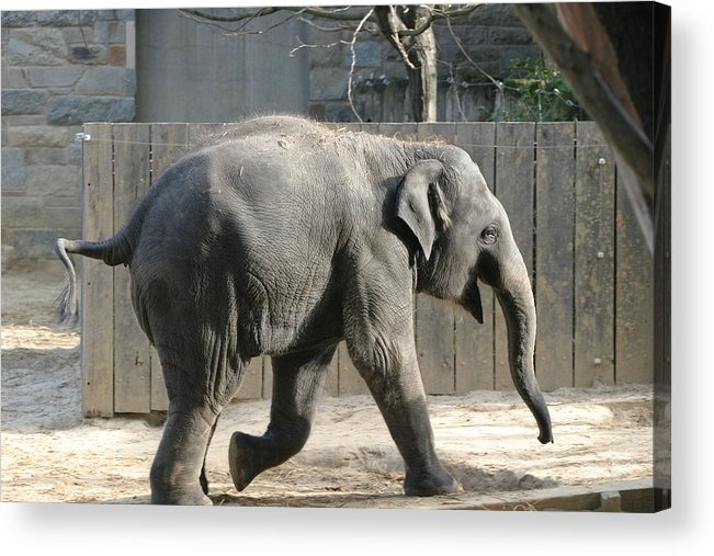 National Acrylic Print featuring the photograph National Zoo - Elephant - 12126 by DC Photographer