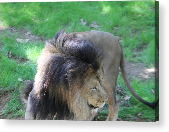National Acrylic Print featuring the photograph National Zoo - Lion - 01132 by DC Photographer