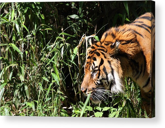 National Acrylic Print featuring the photograph National Zoo - Tiger - 011311 by DC Photographer