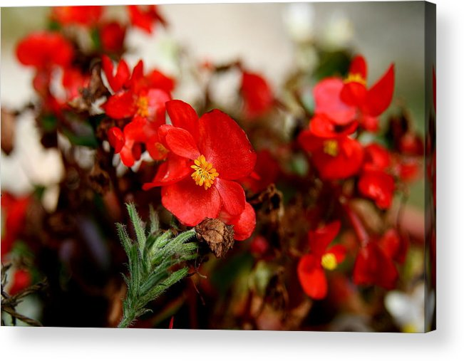 Red Flower Acrylic Print featuring the photograph Nature's Fire by Neal Eslinger