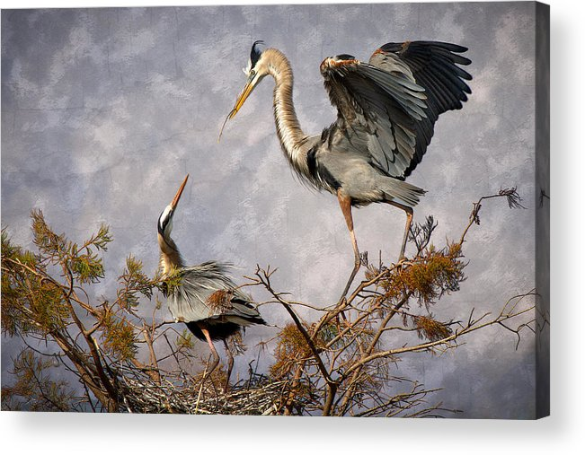 Bird Acrylic Print featuring the photograph Nesting Time by Debra and Dave Vanderlaan