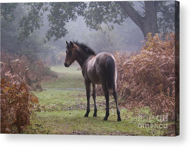 New Forest Pony Acrylic Print featuring the photograph New Forest Pony by Dave Pressland FLPA