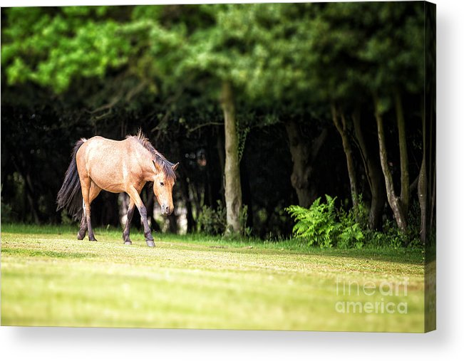 Forest Acrylic Print featuring the photograph New Forest Pony by Jane Rix
