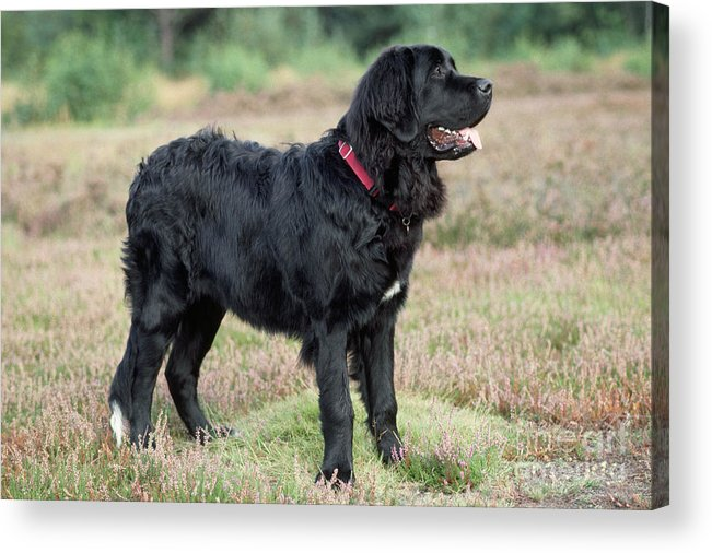 Newfoundland Acrylic Print featuring the photograph Newfoundland Dog, Standing In Field by John Daniels