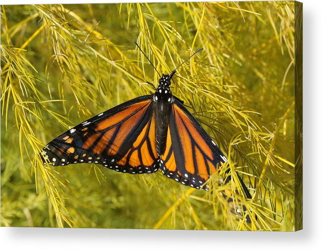 Monarch Acrylic Print featuring the photograph Newly Hatched by Kristy Jeppson