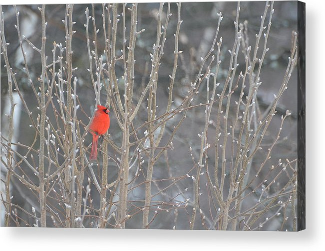 Nature Acrylic Print featuring the photograph Northern Cardinal -male by Raju Alagawadi