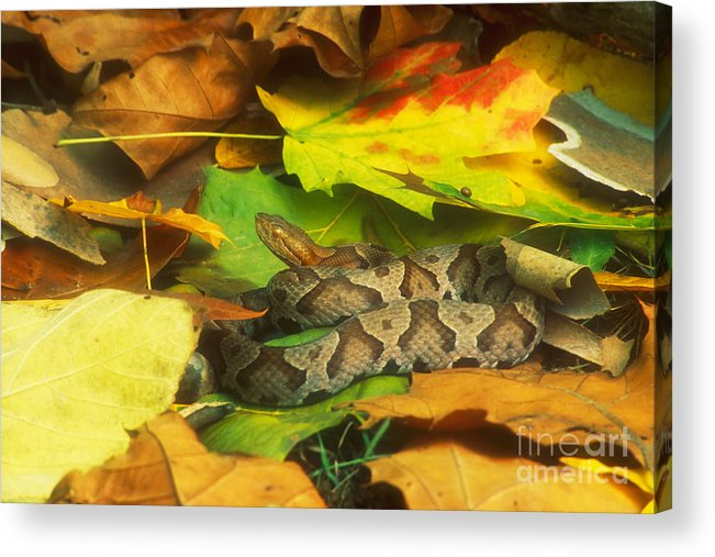 Fauna Acrylic Print featuring the photograph Northern Copperhead Camouflaged by David Davis