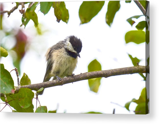Birds Acrylic Print featuring the photograph Now What Am I Supposed To Do by Kristin Hatt
