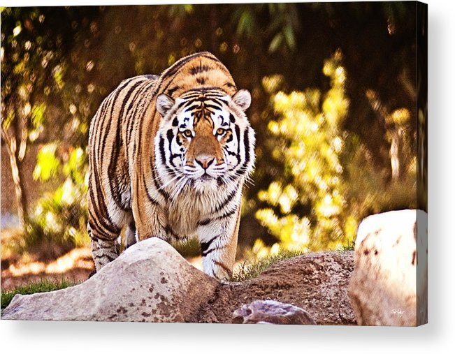 Tiger Acrylic Print featuring the photograph On The Prowl by Scott Pellegrin