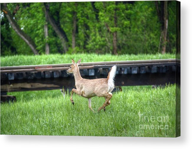 Deer Acrylic Print featuring the photograph On The Run by M Dale