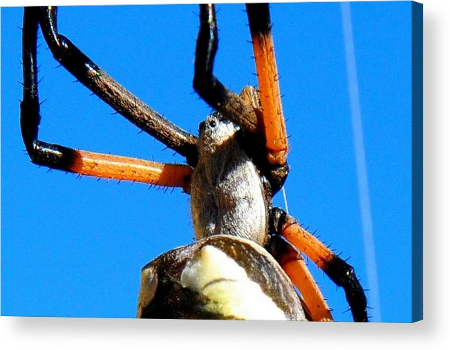 Landscape Acrylic Print featuring the photograph Orange And Black Spider Legs by Marilyn Burton