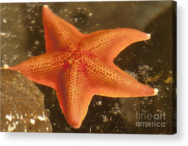Gaviota Acrylic Print featuring the photograph Orange Starfish In California Ocean by Artist and Photographer Laura Wrede