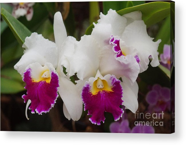 Nature Acrylic Print featuring the photograph Orchids 198 by Rudi Prott