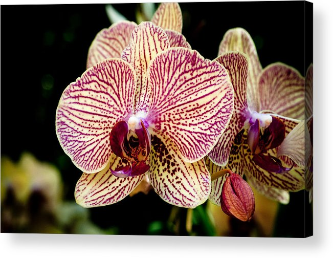 Flower Acrylic Print featuring the photograph Outstanding Orchid by Jim Ell