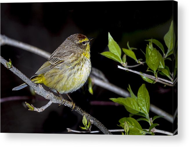 Animal Acrylic Print featuring the photograph Palm Warbler by Jack R Perry