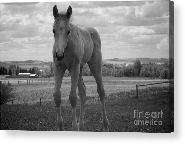 Palomino Acrylic Print featuring the photograph Palomino In Black And White by Cheryl Hurtak