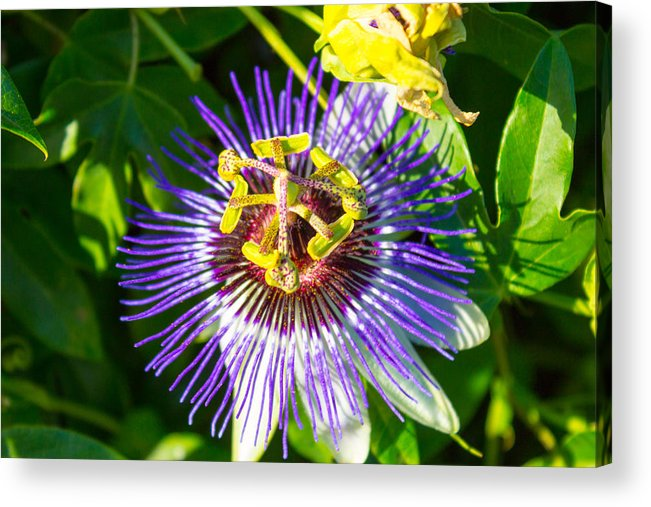Passion Fruit Flower Acrylic Print featuring the photograph Passion Fruit Flower by G Matthew Laughton