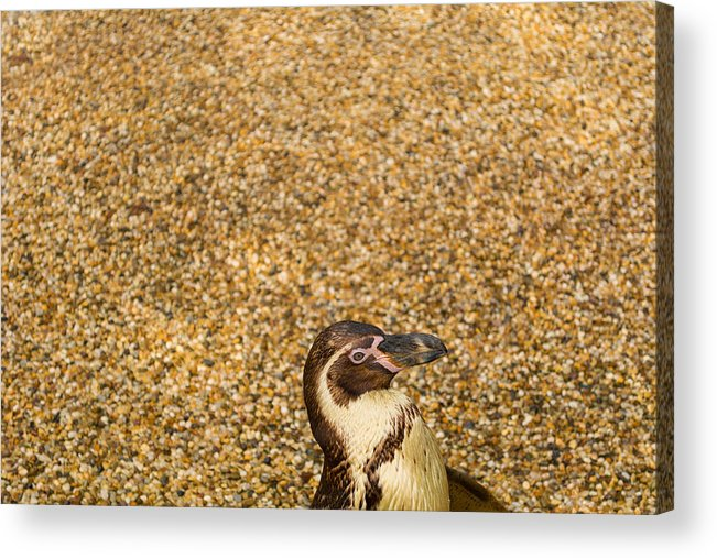 Penguin Acrylic Print featuring the photograph Penguin And Pebbles by Mair Hunt