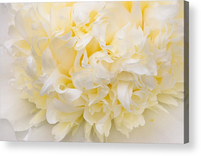 Peony Acrylic Print featuring the photograph Peony Close-up In Yellow by Leda Robertson