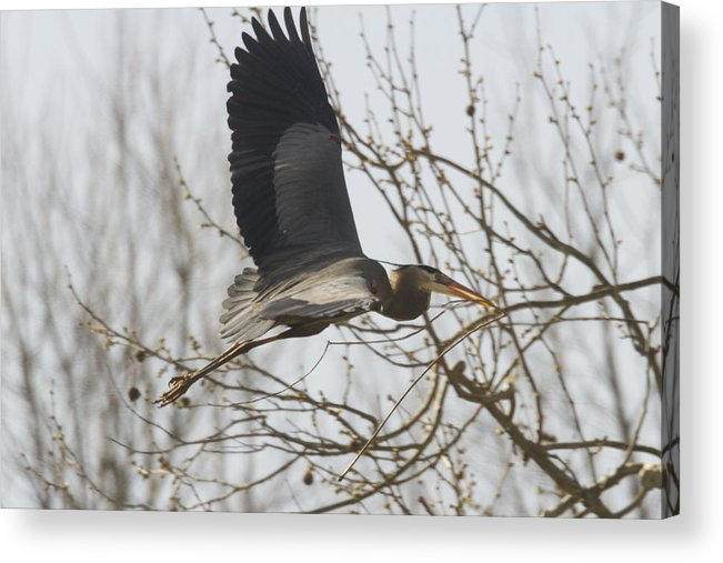 Ardea Acrylic Print featuring the photograph Perfect Stick by Jack R Perry