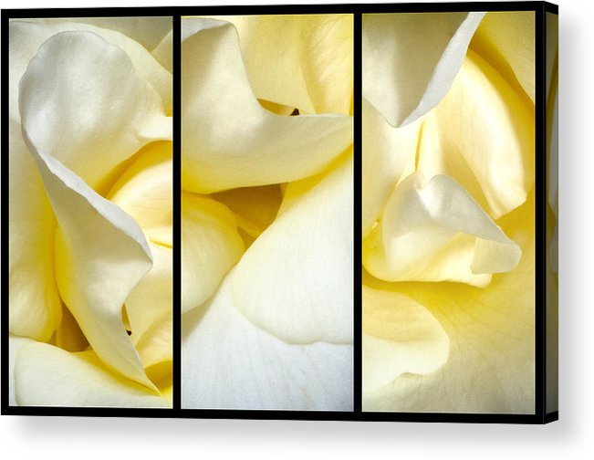 Rose Acrylic Print featuring the photograph Petals Triptych by Georgette Grossman