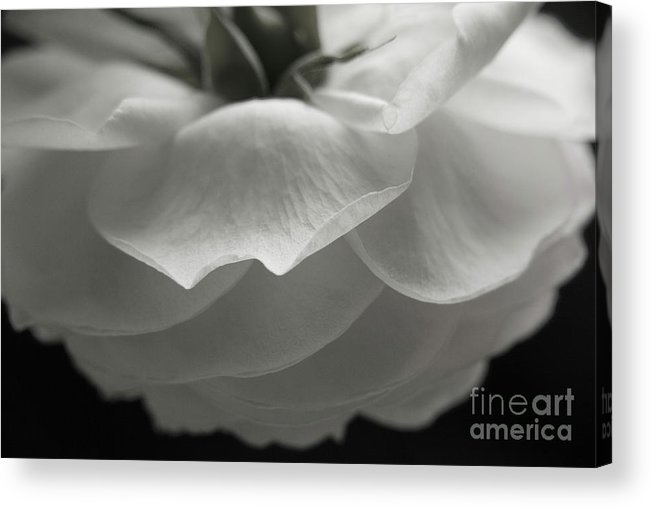 Nature Acrylic Print featuring the photograph Pierre De Ronsard Rose by Julia Hiebaum