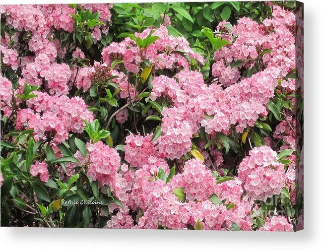 Kathie Chicoine Acrylic Print featuring the photograph Pink Blossoms by Kathie Chicoine