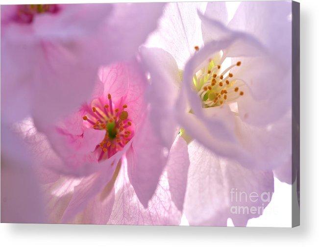 Flower Acrylic Print featuring the photograph Pink Dream by Ben Baucum