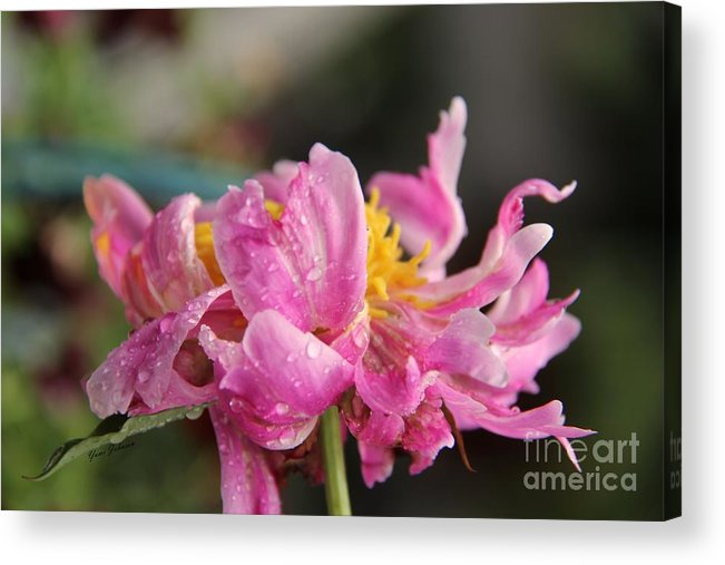 Pink Flaming Peony Acrylic Print featuring the photograph Pink Flaming Peony  by Yumi Johnson
