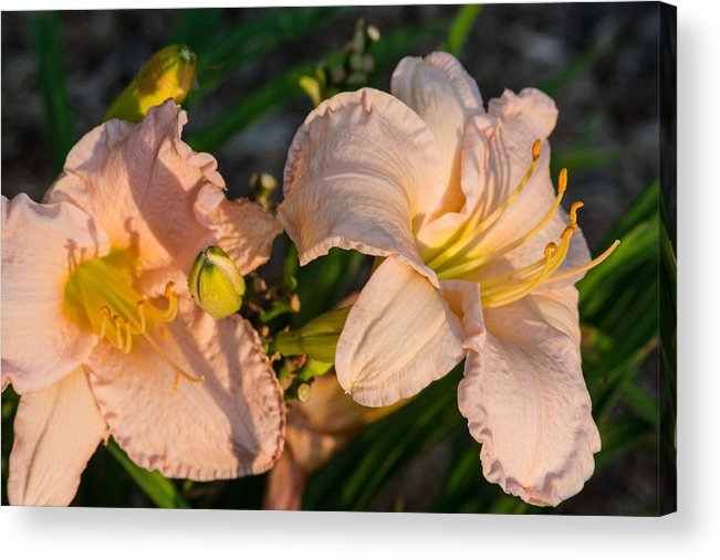 Lily Acrylic Print featuring the photograph Pink Lily At Sunset 2 by Douglas Barnett