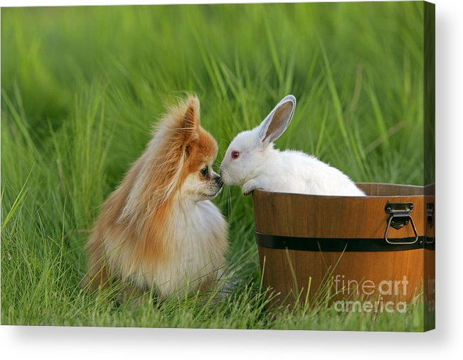 Pomeranian Acrylic Print featuring the photograph Pomeranian With Rabbit by Rolf Kopfle