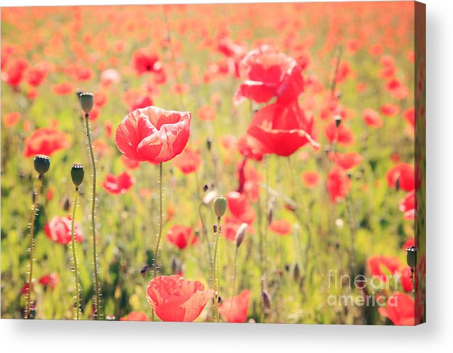 Vintage Acrylic Print featuring the photograph Poppies In Tuscany - Italy by Matteo Colombo