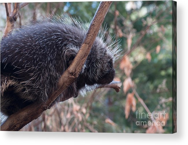 Porcupine Acrylic Print featuring the photograph Porcupine by Bianca Nadeau