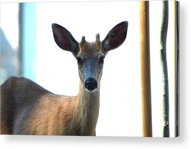Deer Acrylic Print featuring the photograph Portrait Of A Deer by Nicki Bennett