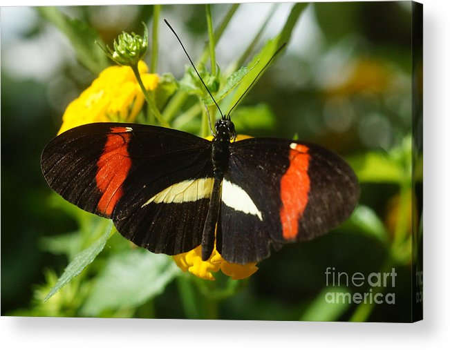 Nature Acrylic Print featuring the photograph Postman Butterfly 2 by Rudi Prott