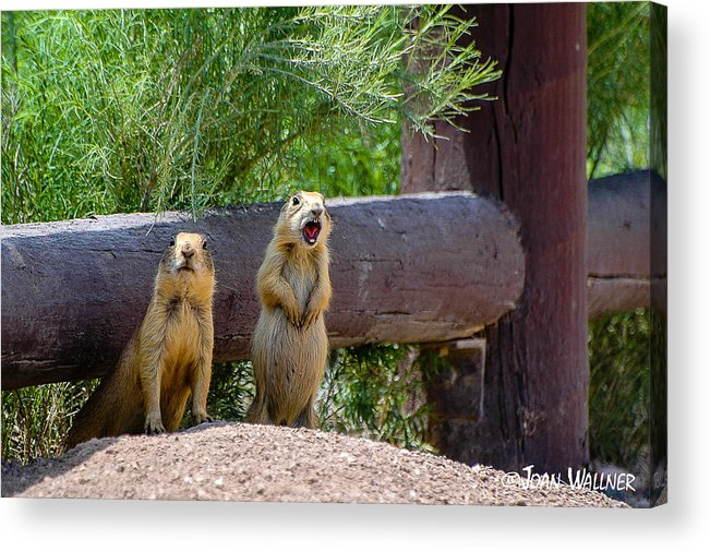 Bryce National Park Acrylic Print featuring the photograph Prairie Dogs In Bryce by Joan Wallner
