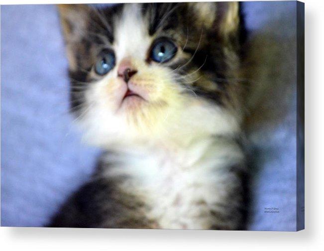 Precious Acrylic Print featuring the photograph Precious Kitty by Maria Urso