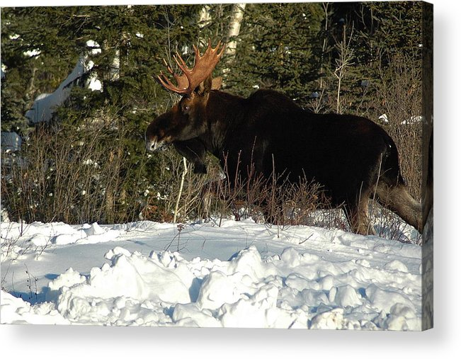 Bull Moose Acrylic Print featuring the photograph Pretty Bull by Sandra Updyke
