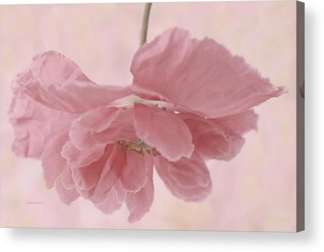 Poppy Acrylic Print featuring the photograph Pretty Pink Poppy Macro by Sandra Foster