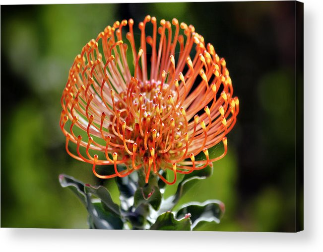Protea Acrylic Print featuring the photograph Protea - One Of The Oldest Flowers On Earth by Christine Till