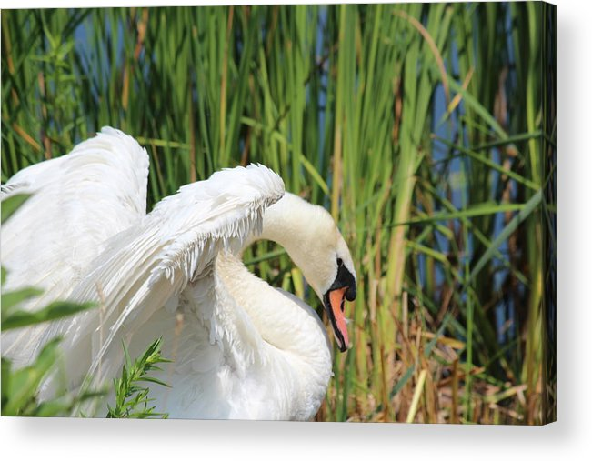Swan Acrylic Print featuring the photograph Protective Watch by Jennifer Gillis