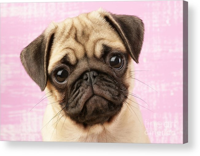 Puppy Acrylic Print featuring the digital art Pug Portrait by Greg Cuddiford