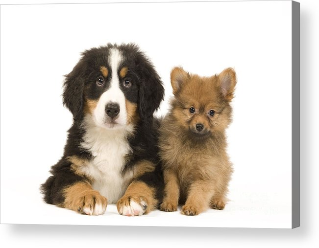 Pomeranian Acrylic Print featuring the photograph Puppies by Jean-Michel Labat