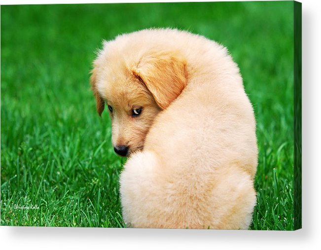 Golden Retriever Acrylic Print featuring the photograph Puppy Love by Christina Rollo