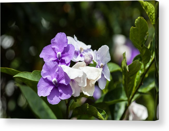 Purple And White Flowering Bush Acrylic Print By Craig Lapsley