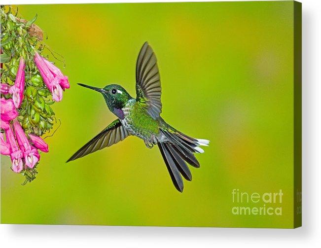 Fauna Acrylic Print featuring the photograph Purple-bibbed Whitetip Hummingbird by Anthony Mercieca